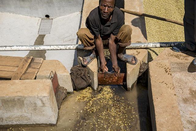 Обработка кофе в зоне Иргачиф, Эфиопия