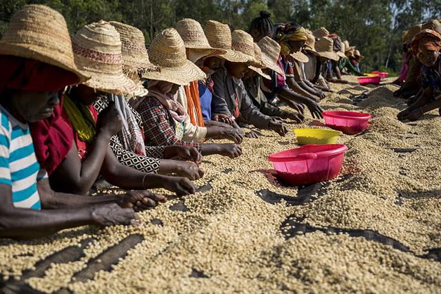Сортировка кофе в Эфиопии